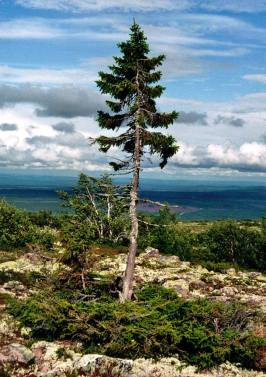 Old Tjikkos rötter är minst 9 550 år gamla